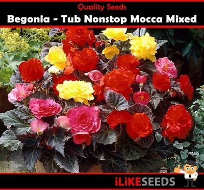 Begonia Tub Nonstop Mocca Mixed Colour Pellet Seeds 15 Minimum. 89% Germ Rate. i