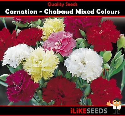 Carnation Chabaud Giants Mixed Colours 100 Seeds Minimum Garden Flower Plant