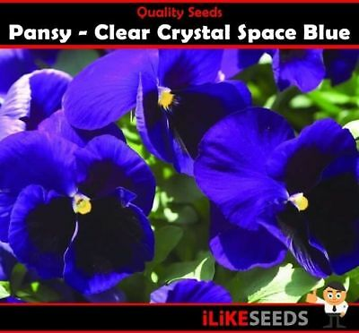 Pansy Clear Crystal Space Blue 50 Seeds Minimum. Colourful Garden Flower Plant.