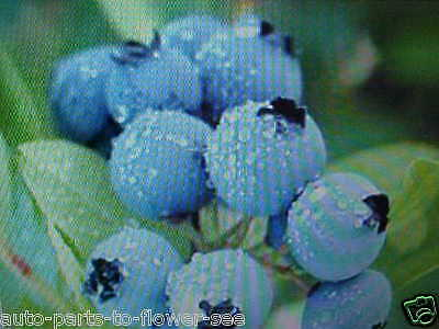Rare Dwarf Blueberry Seeds Great Hanging, Pots, Patio, Apt, Deck, Balcony, Condo