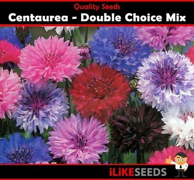 Centaurea Choice Double Mix 100 Seeds Minimum Colourful Garden Flower Plants.