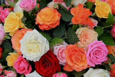 20 MIXED ROSE Seeds BRIGHT Colours Flower Plant Bulb Home & Garden Light