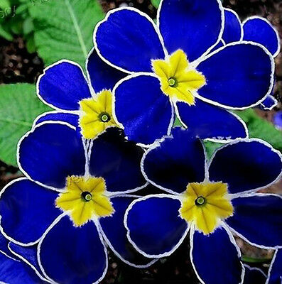 Showy New 100Rare Blue Evening Pansy Seeds Easy to Plant Garden Decor Flower