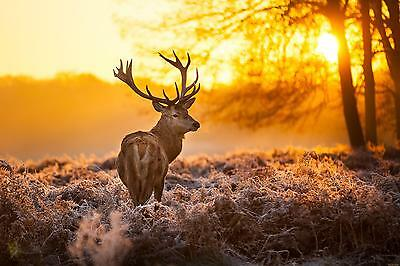 Stags Deer In Forest Sunset WALL ART CANVAS FRAMED OR POSTER PRINT