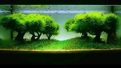 Java Moss - Live Aquatic Plants For Aquarium