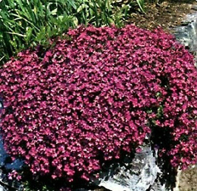 100 Rock Cress Seeds Cascading Red (PERENNIAL) Deer Resistant