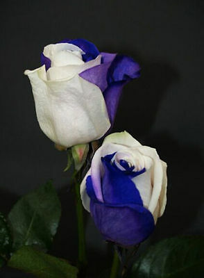 """35 Semi di Rose RARISSIME Blu-White.."