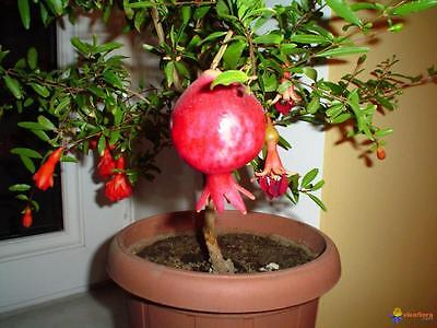 Dwarf Pomegranate   (Punica granatum 'Nana' ) 25 Seeds