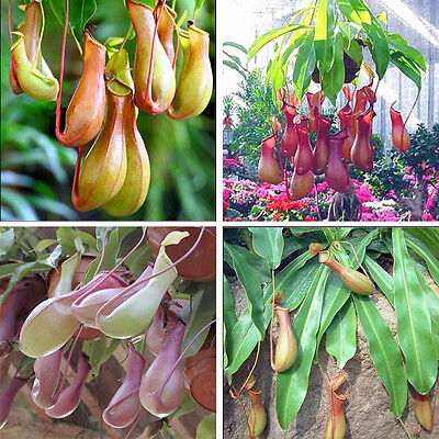 20Pcs Seeds Pitcher Plant Purpurea Foliage Carnivorous Shades Flower Garden GH