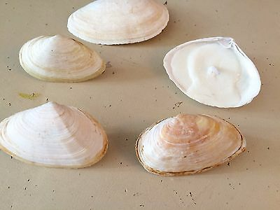 5 Cape Cod Clam Shell Tealight Candles with Lavender Essential Oil Scent Made