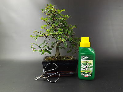 Chinese Elm Indoor Bonsai Tree - S Trunk - 20-25cm plus Gift Set and  FREE P&P