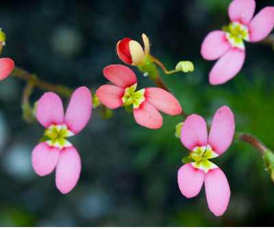 Pink Fountain Triggerplant (Stylidium brunoianum)