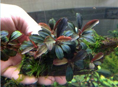 "Bucephalandra Brownie"" Purple""  RARE Aquatic Plant"