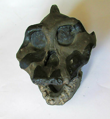 Australopithecus aethiopicus, 2.6 mil. years old, the Black Skull  -  replica