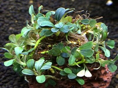 "Bucephalandra ""Brownie Firebird"" RARE Aquatic Plant"