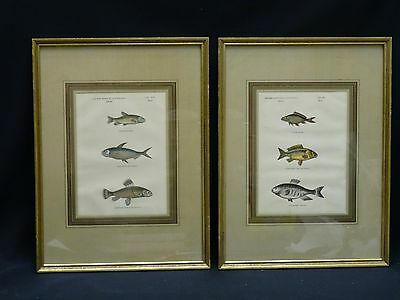 PAIR of FRAMED ANTIQUE 19 c. SPANISH HAND COLORED ENGRAVING FISH SPECIES