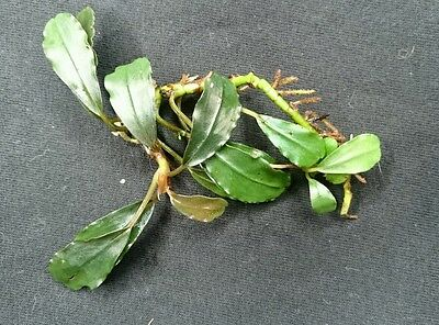 "Bucephalandra ""Theia Black "" RARE Aquatic Plant"