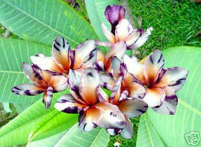 """""""lavender Splash"""" Fragrant Plumeria Cutting Have Rooted 7-12"""" With Certification"""