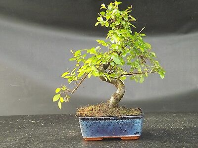 Chinese Elm S Trunk Bonsai tree 20-25cm with ceramic drip tray