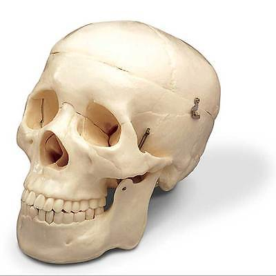 Anatomical Scientific Medical Skull - Model Life Sized Human Mold