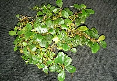 "Bucephalandra "" Mini Coin "" RARE Aquatic Plant"