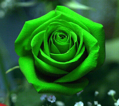 25-50-100-200 Night Avalanche Neon Green Rose Seeds - Buy Any 3 Get 1 FREE!!