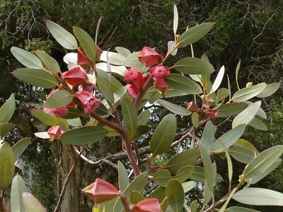 Square Fruited Mallee (Eucalyptus Tetraptera) 50 seeds