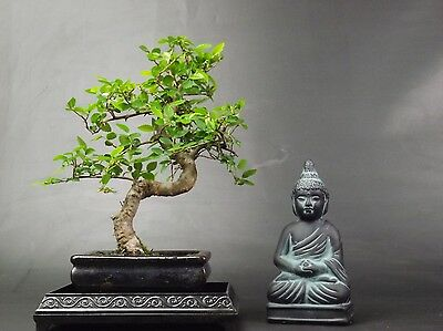 Chinese Elm S Trunk Bonsai Tree supplied with decorative driptray + Buddha