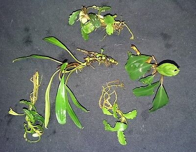 BARGIN BUCEPHALANDRA COLLECTION- 5 MIXED RARE Aquatic Plants