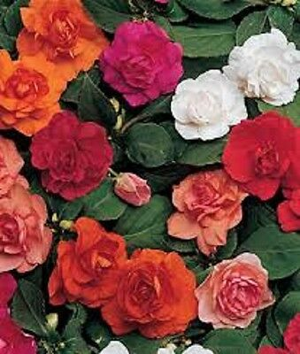 25 Seeds Impatiens Double Mix Flower Seeds