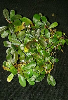 "Bucephalandra ""Little Dagger  "" RARE NEW Aquatic Plant • EUR 12,57"