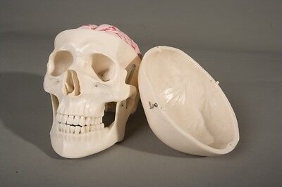 Deluxe Skull with 8 Part Brain, anatomical medical, New