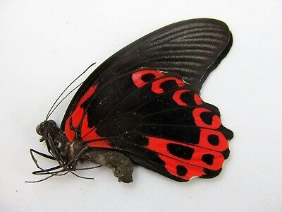 Papilio rumanzovia FOLDED Butterfly RED Taxidermy REAL