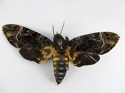 Dead Head Moth (Acherontia lachesis) FOLDED Butterfly (A1 / A-) Taxidermy REAL