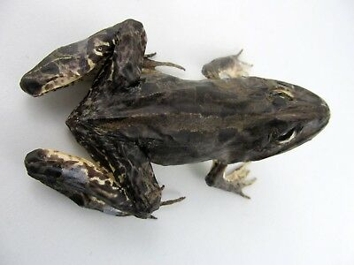 Large Fejervarya sp. FROG Complete dried stuffed Freeky COOL! Taxidermy REAL