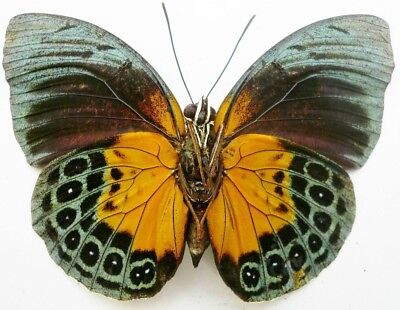 Agrias Beata Female **RARE** (Folded) Butterfly Taxidermy REAL Insect