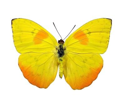 Phoebis philea Folded Butterfly Taxidermy REAL Unmounted