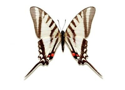 Eurytides agesilaus Folded Butterfly Taxidermy REAL Unmounted
