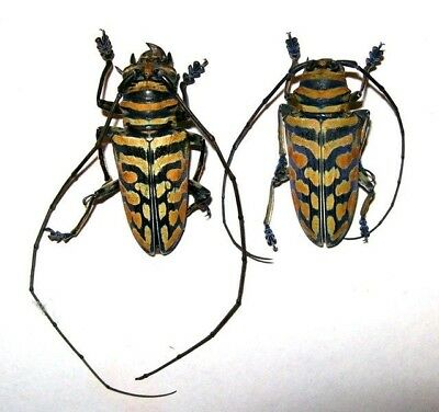 Sternotomis bohemani ferreti PAIR Taxidermy REAL Insect Beetle