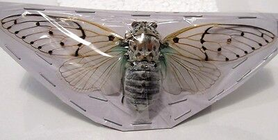 Ayuthia spectabilis Cicada Green NICE! Taxidermy REAL Insect