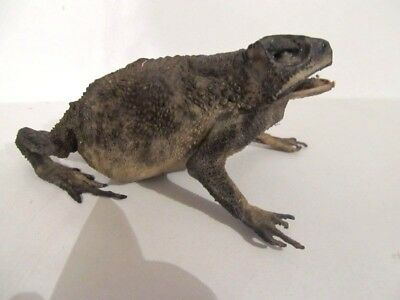 TOAD sp. Complete Dried Large Stuffed Toad Freeky COOL!Taxidermy REAL
