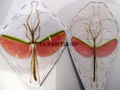 Necrosia annulipesPink Flying Sticks PAIR Taxidermy REAL Insect