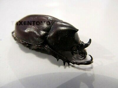 Xylotrupes pauliani Horned Beetle Taxidermy REAL Insect
