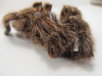 Avicularia purpurea TARANTULA Spider Hairy Taxidermy REAL Insect  UNMOUNTED