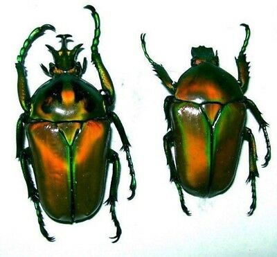 Neptunides polychrous PAIR Colorful Golden Green! Taxidermy REAL Insect