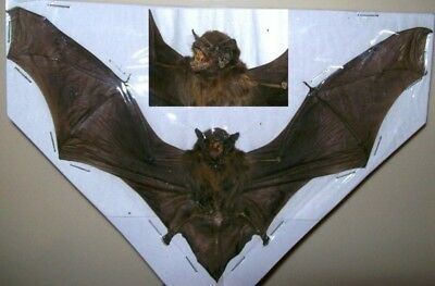 Pipistrelus sp. Complete small dried bat Spread Taxidermy REAL