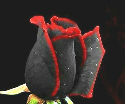 10 Seeds - Black Red Edged Dual Mixed Colour Rose Flower Rare Species Plant Bush