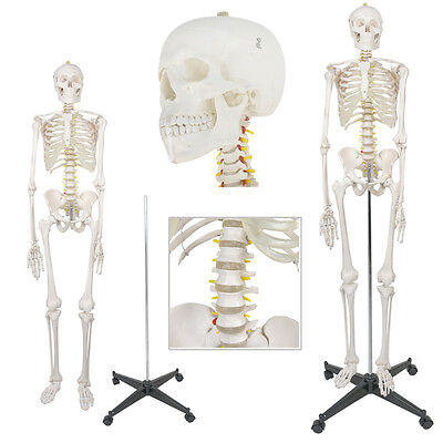Life Size Human Anatomical Anatomy Skeleton Lab Teaching Medical Model Education