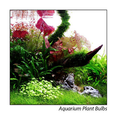 Live Aquarium Plant Bulbs - Red Lotus - Aponogetons - Buy 3 get 1 Free