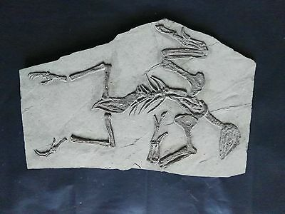 Rare Chinese Best Triassic Archaeornis Real Confucius Bird Fossil